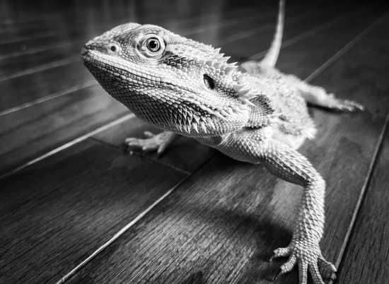 Meaning Of A Bearded Dragon Turning White