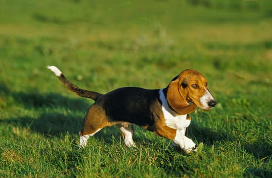 Basset Artesian Normand small hound breed