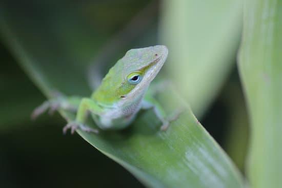 Green Anole Lifespan In Captivity