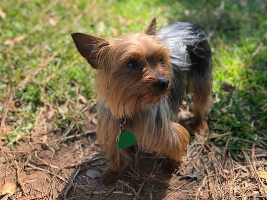 Yorkies breed of small fat dog
