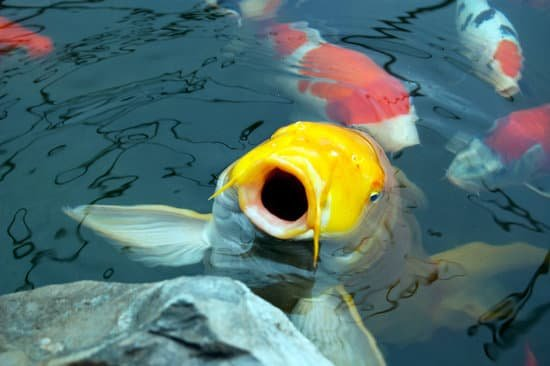 A freshwater fish fish gasping for air