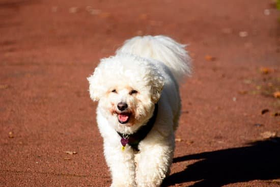 Bichon Frise breed of small white fluffy dog