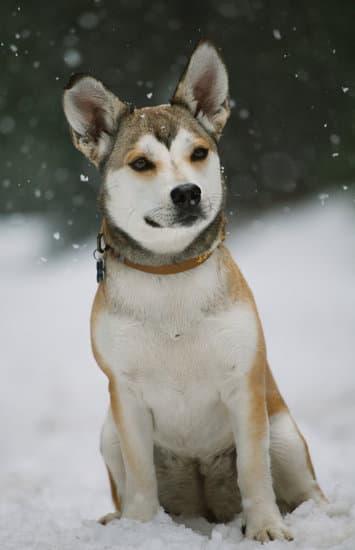 Swedish Vallhund wolf-like dog breed