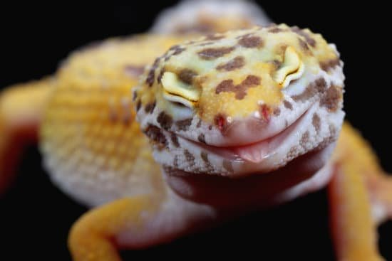 What Is Leopard Gecko Respiratory Infection?
