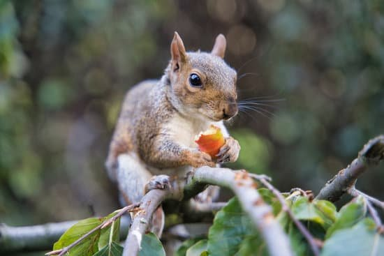Squirrel eating fruits