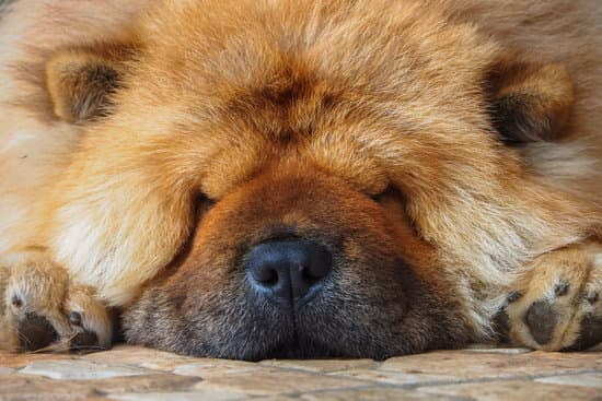 Why Do Chow Chows Sleep So Much?