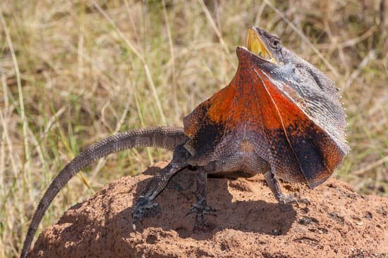 build better home for better Frilled Dragon care