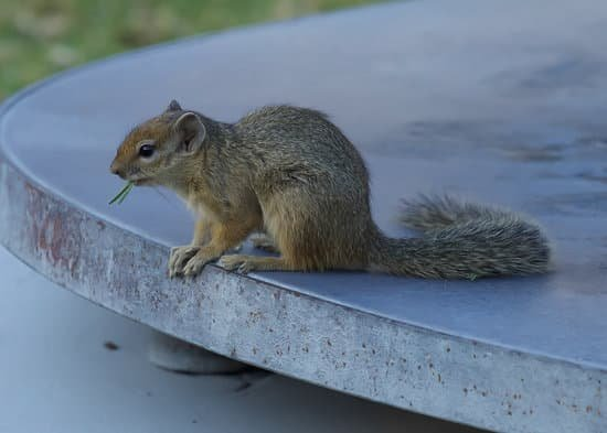 Ground squirrel can be kept as pet