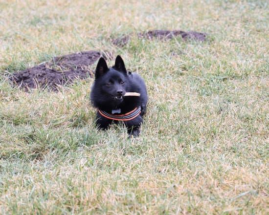 Schipperke breed of small guard dog