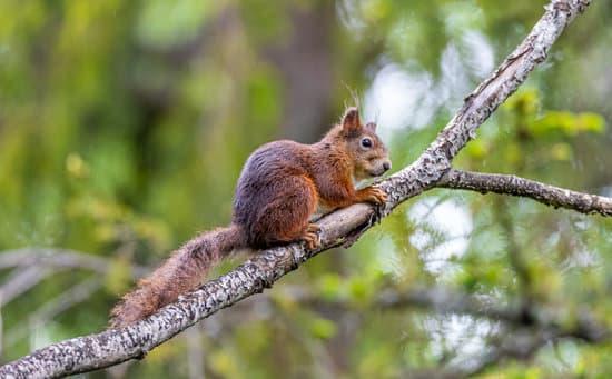 Subadult Squirrels