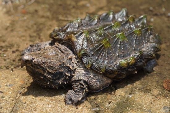 The alligator snapping turtle showing its spiky carapace