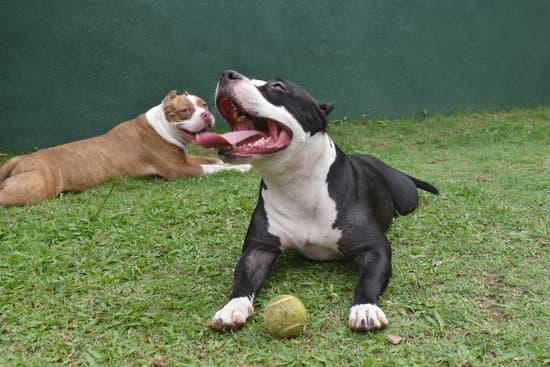 American Bully Pitbull breeds