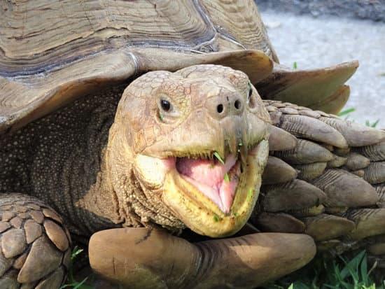 do sulcata tortoises make noises