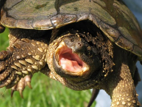 do snapping turtles have teeth