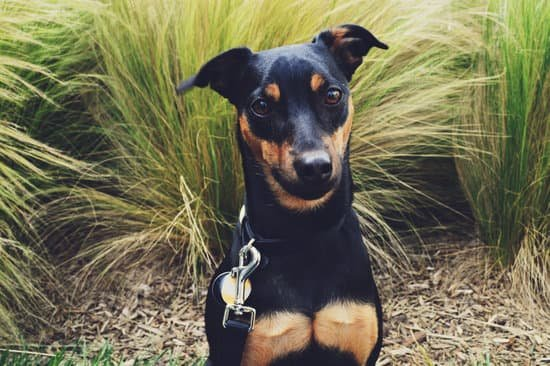 Manchester Terrier breed of small guard dog